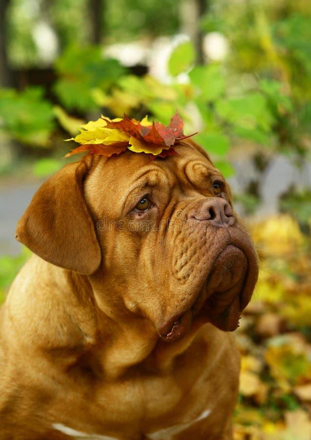Retrato de um cão nas folhas de outono. fotos de stock royalty free