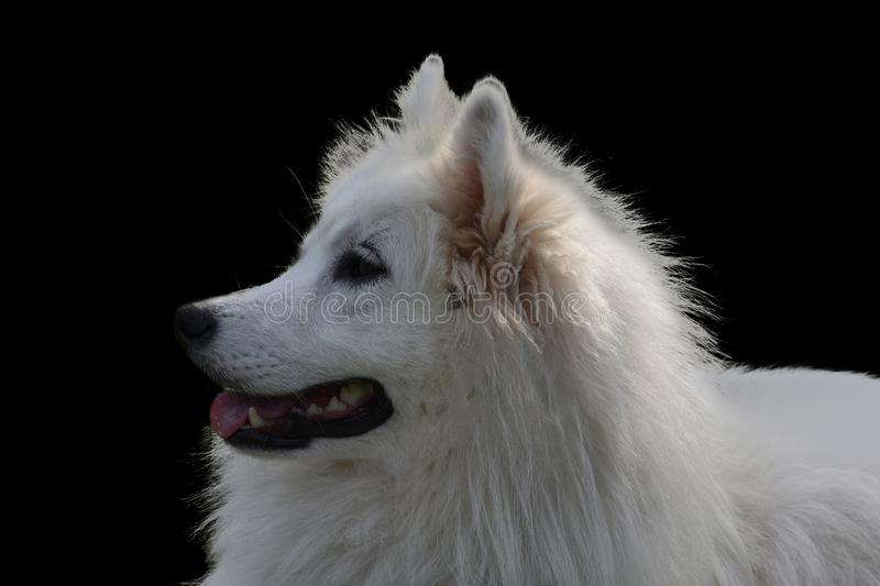Retrato de um cão novo do samoyed no preto fotografia de stock royalty free