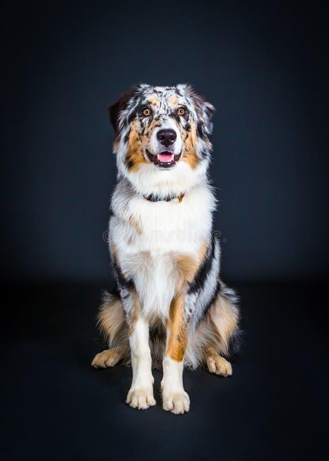 Retrato de um cão-pastor australiano imagem de stock royalty free