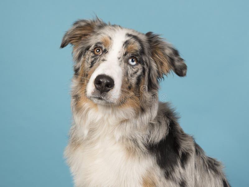 Retrato de um cão-pastor australiano eyed consideravelmente impar em um azul imagens de stock