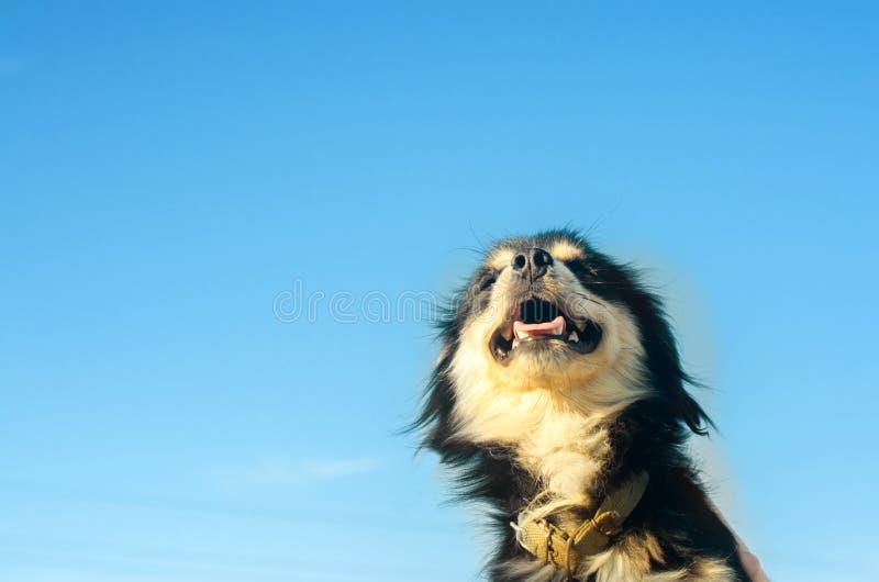 Retrato de um cão preto feliz em um fundo do céu azul animal de estimação doméstico, animal Lugar para o texto Copyspace fotografia de stock