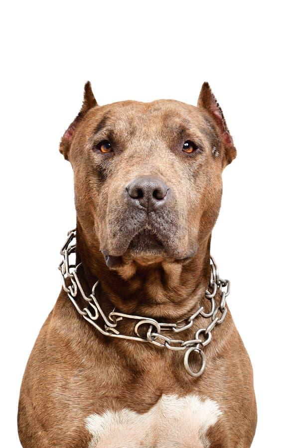 Retrato de um cão sério do pitbull fotografia de stock