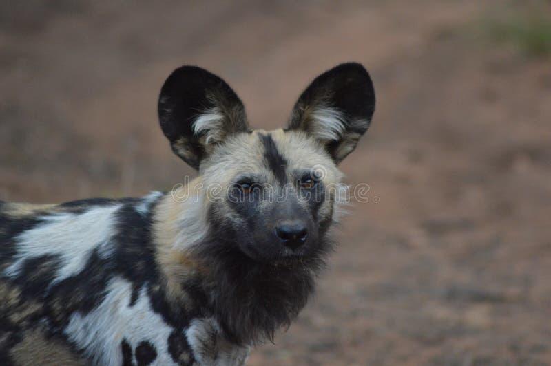 Retrato de um cão selvagem africano no parque nacional de Kruger imagens de stock