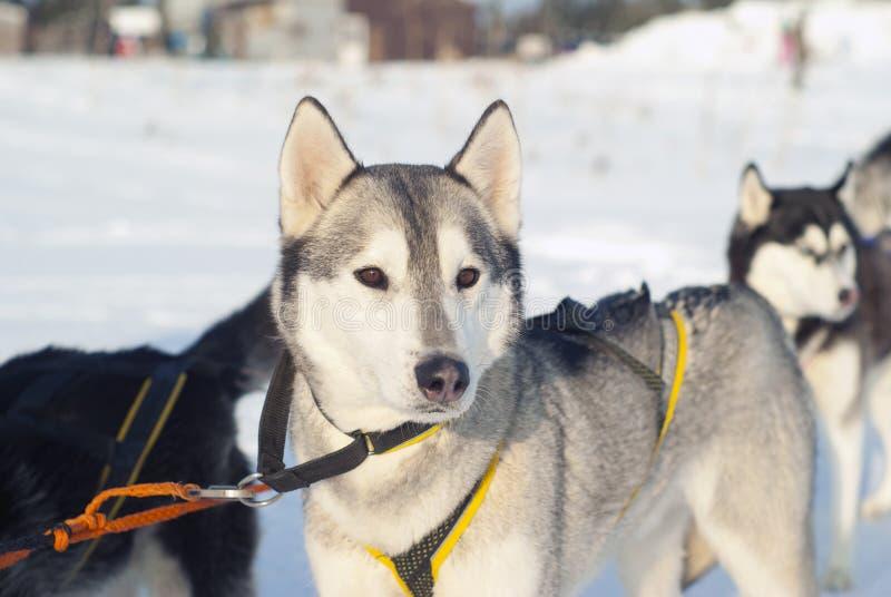 Retrato de um cão de trenó imagem de stock royalty free