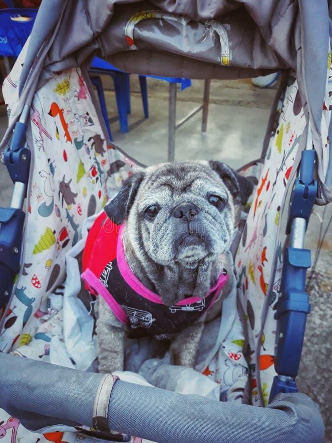 Retrato de um cão velho do Pug que senta-se em uma cadeira de rodas, olhando como um olho triste imagem de stock royalty free