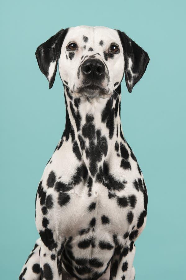 Retrato de um c?o dalmatian que olha a c?mera em um fundo azul imagens de stock