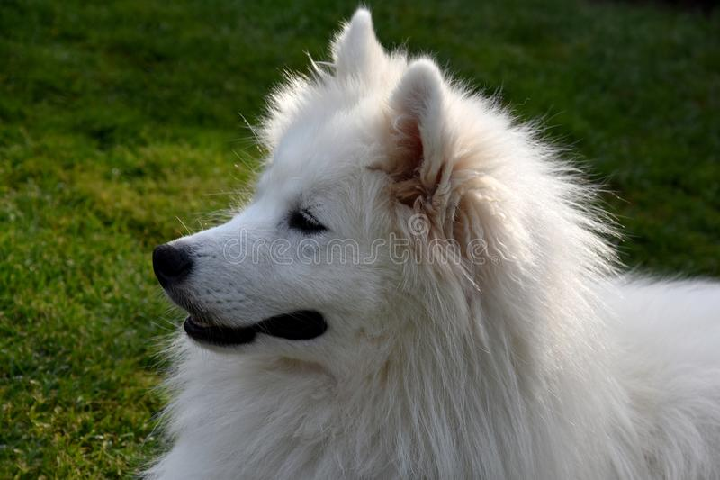 Retrato de um c?o novo do samoyed fotografia de stock royalty free