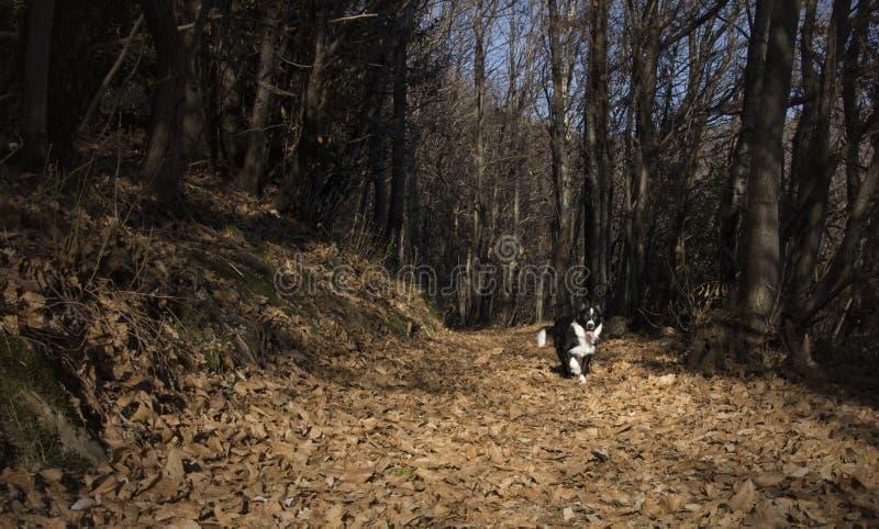 Retrato de um cachorrinho de border collie nas madeiras imagens de stock royalty free