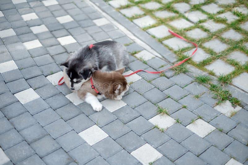 Retrato de um cachorrinho do cão de puxar trenós Siberian que anda na jarda Cachorrinho bonito pequeno do cão do cão de puxar tre fotos de stock