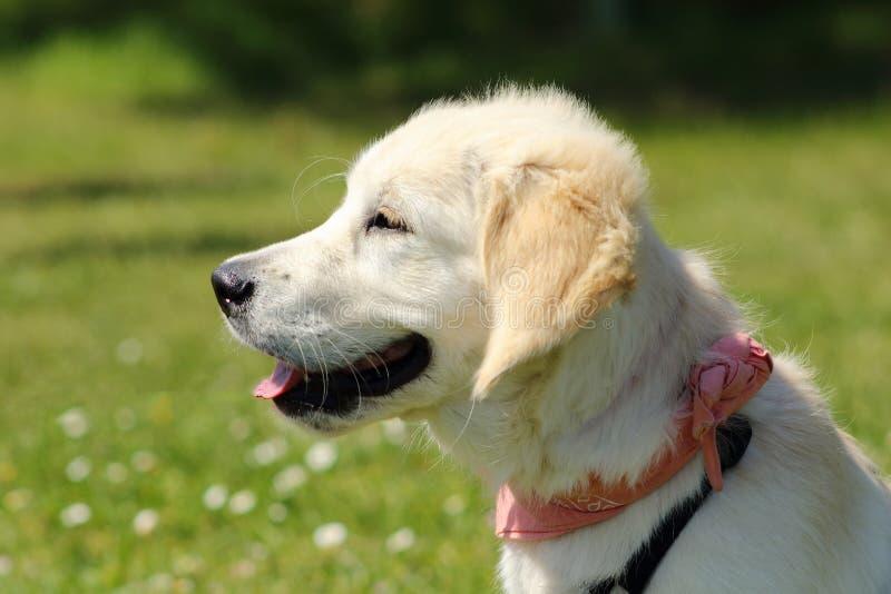 Retrato de um cachorrinho do golden retriever com lenço cor-de-rosa foto de stock royalty free