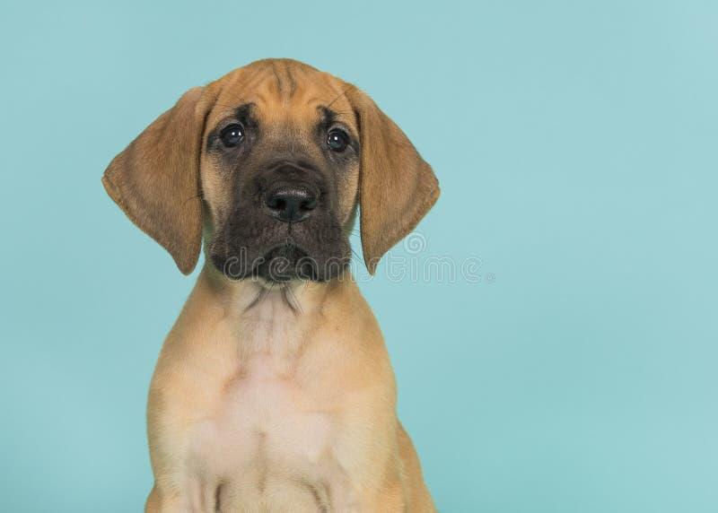 Retrato de um cachorrinho de great dane que olha a câmera em um b azul fotos de stock royalty free