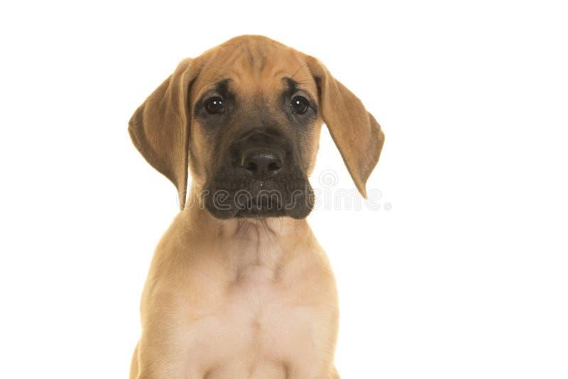 Retrato de um cachorrinho de great dane que olha a câmera em um branco fotos de stock royalty free
