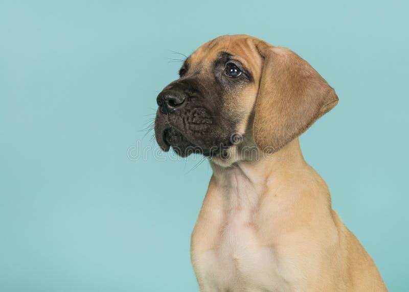 Retrato de um cachorrinho de great dane visto do lado que olha acima sobre fotografia de stock royalty free