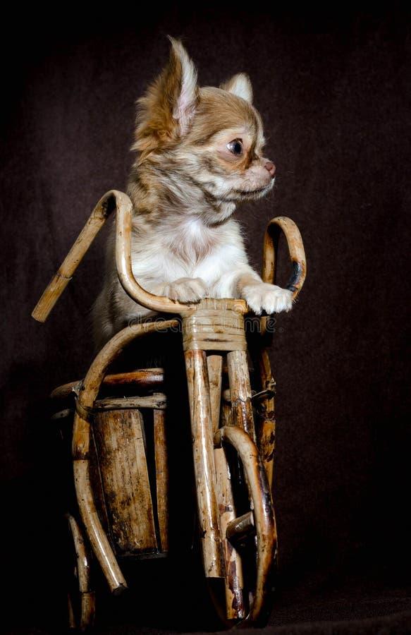 Retrato de um cachorrinho pequeno da chihuahua que está em seus pés traseiros em uma bicicleta de madeira do brinquedo em um fund fotografia de stock