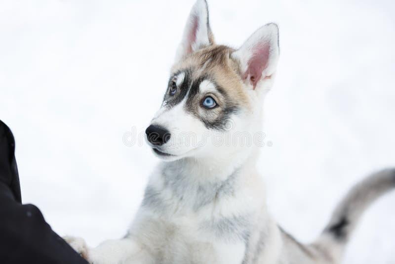 Retrato de um cachorrinho ronco imagens de stock