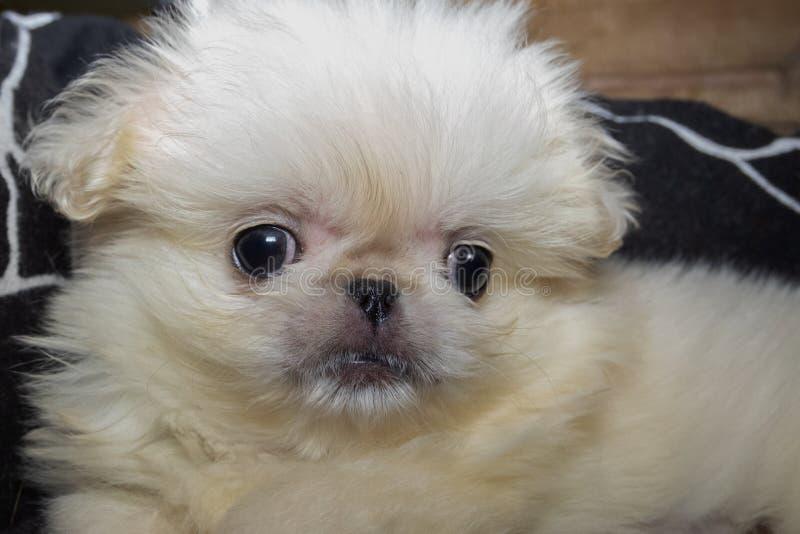 Retrato de um cachorrinho de uma raça chinesa do cão - pequinês branco imagens de stock