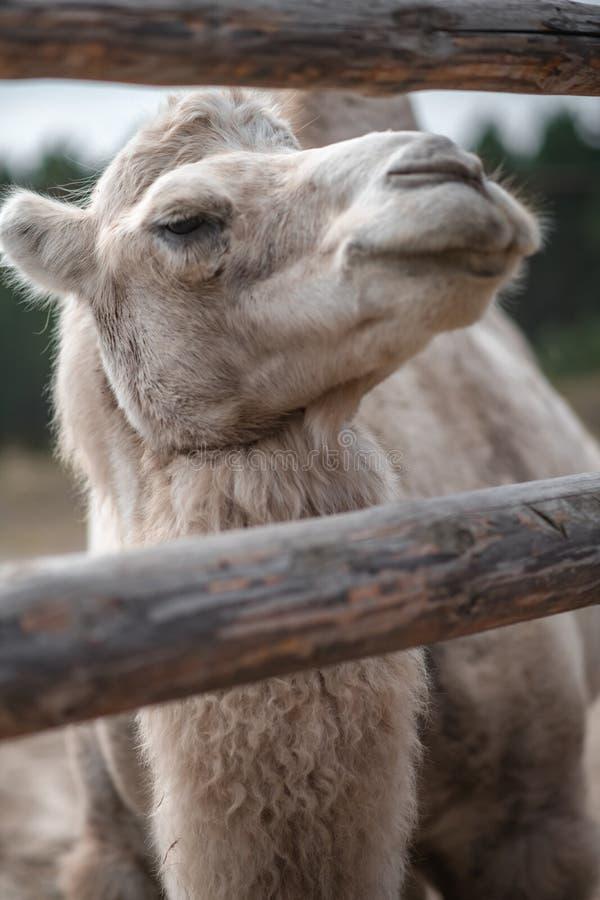 Retrato de um camelo imagens de stock royalty free