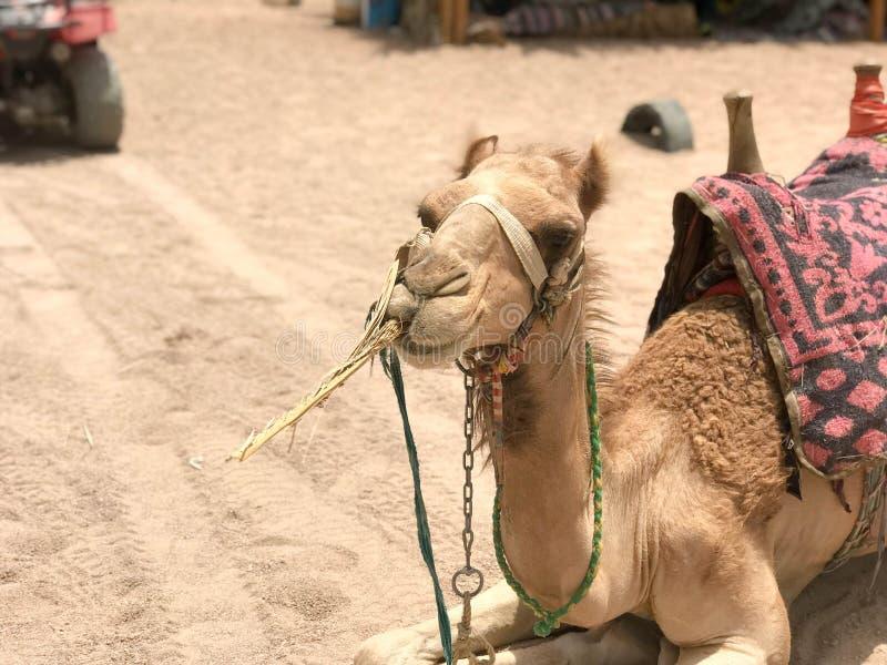 Retrato de um camelo bonito de descanso do deserto amarelo two-humped com um chicote de fios que coma a palha no lado da areia em foto de stock