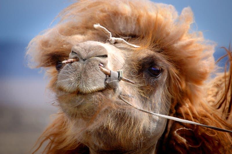 Retrato de um camelo do Mongolian fotografia de stock royalty free