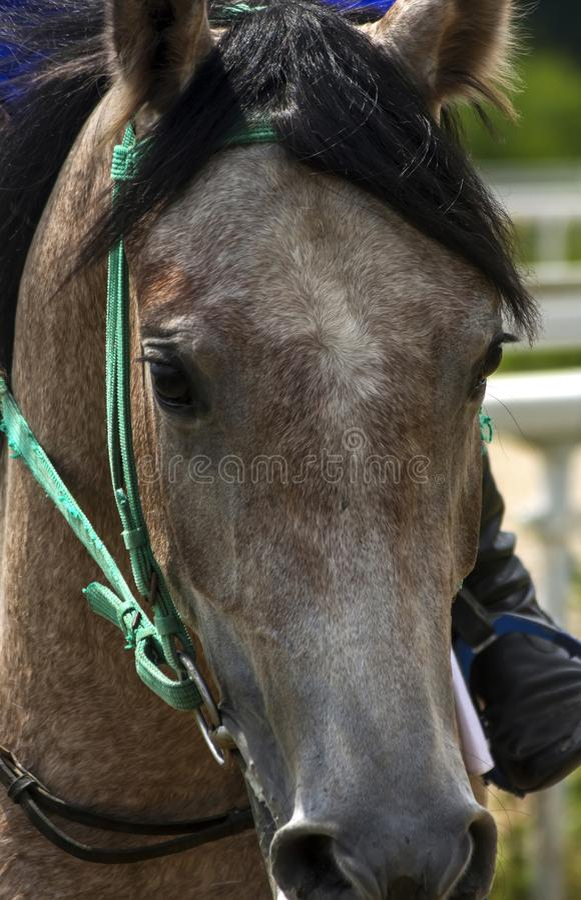 Retrato de um cavalo árabe fotos de stock royalty free