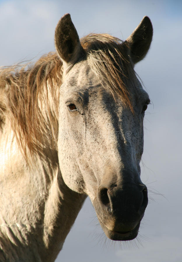 Retrato de um cavalo imagem de stock