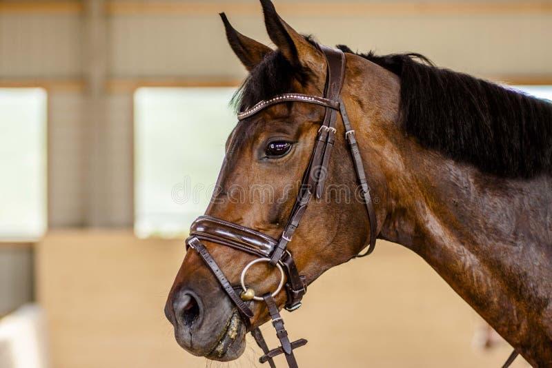 Retrato de um cavalo de baía em um freio foto de stock