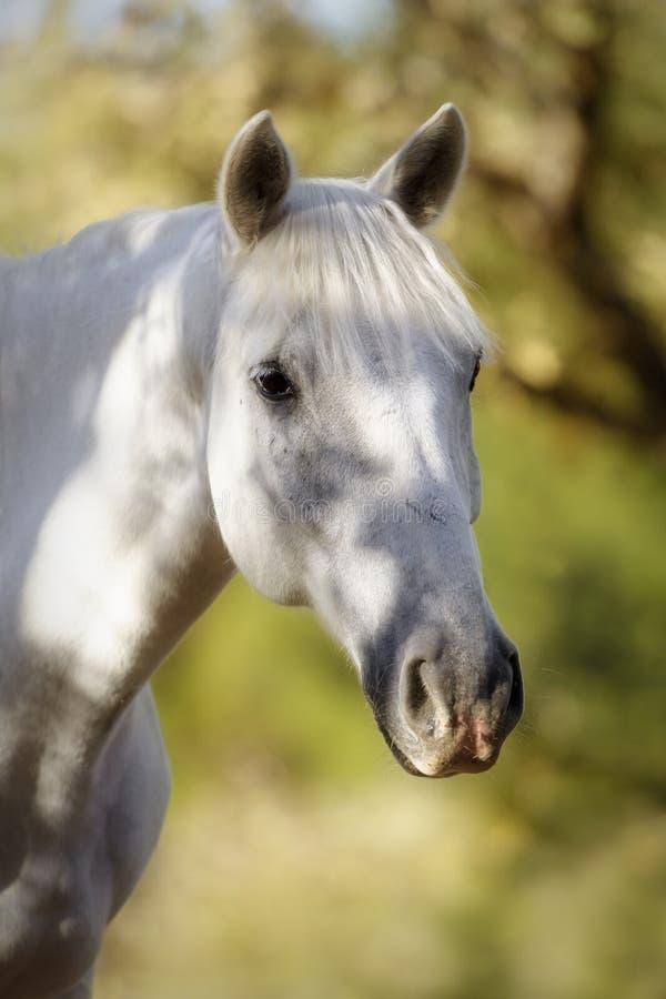 Retrato de um cavalo branco bonito fotografia de stock royalty free