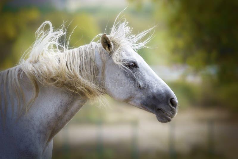 Retrato de um cavalo branco que agita sua juba imagens de stock royalty free