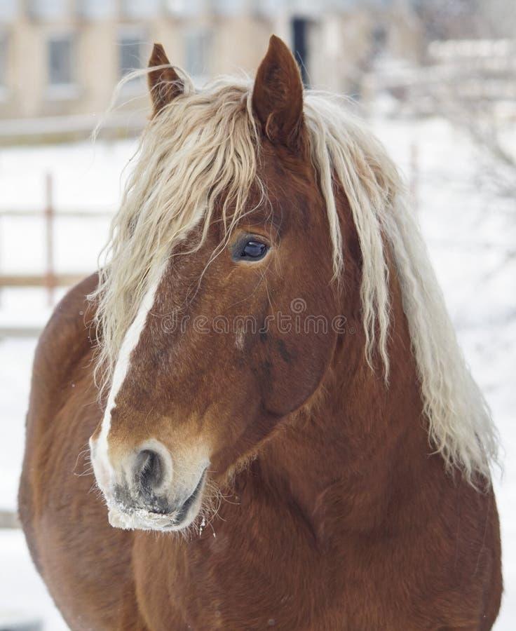 retrato de um cavalo marrom com uma juba longa branca no fundo de uma paisagem do inverno imagens de stock