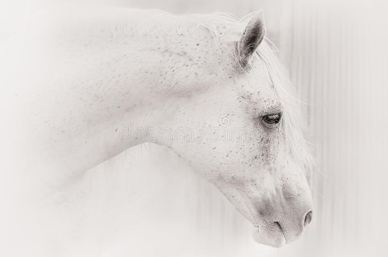Retrato de um cavalo na chave branca foto de stock royalty free
