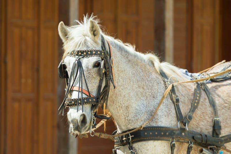 Retrato de um cavalo nas cabeçadas vestindo e nos antolhos de um rancho fotografia de stock royalty free