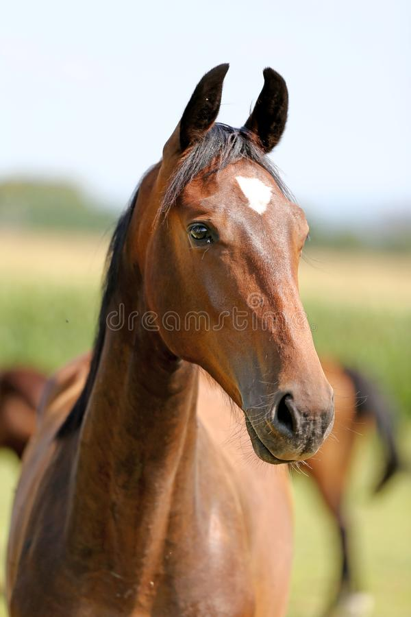 Retrato de um cavalo novo bonito do puro-sangue fotografia de stock