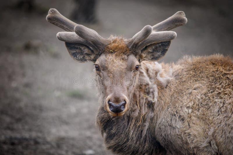 Retrato de um cervo que encontra-se perto da floresta imagem de stock