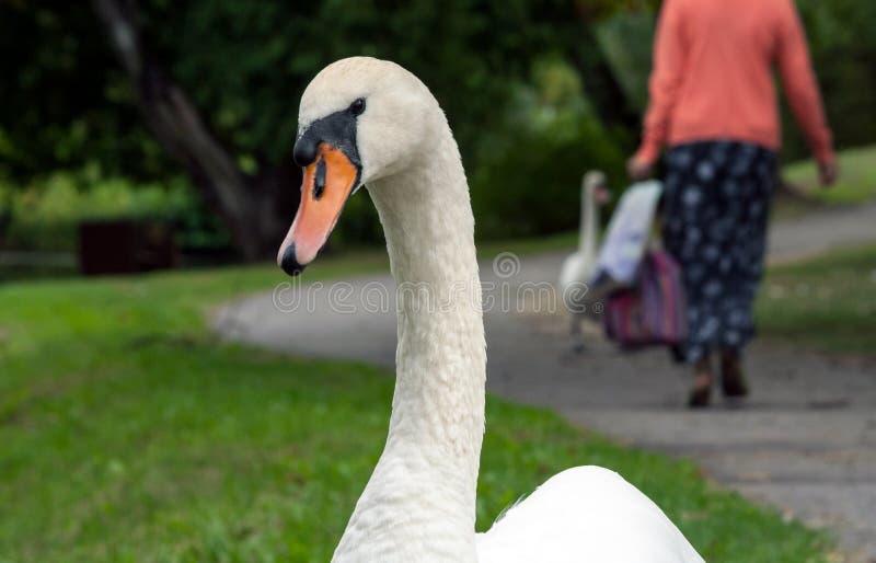 retrato de um close-up adulto branco da cisne, um olhar na câmera, olhando, no fundo um passeio traseiro do ` s da mulher imagens de stock royalty free