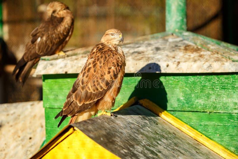Retrato de um close-up bonito do falcão do pássaro imagens de stock