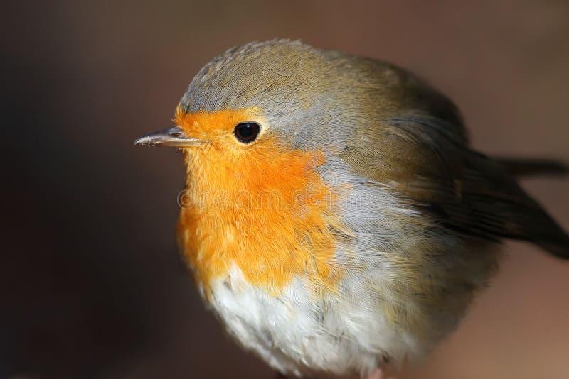 Retrato de um close up bonito do pisco de peito vermelho do pássaro fotografia de stock