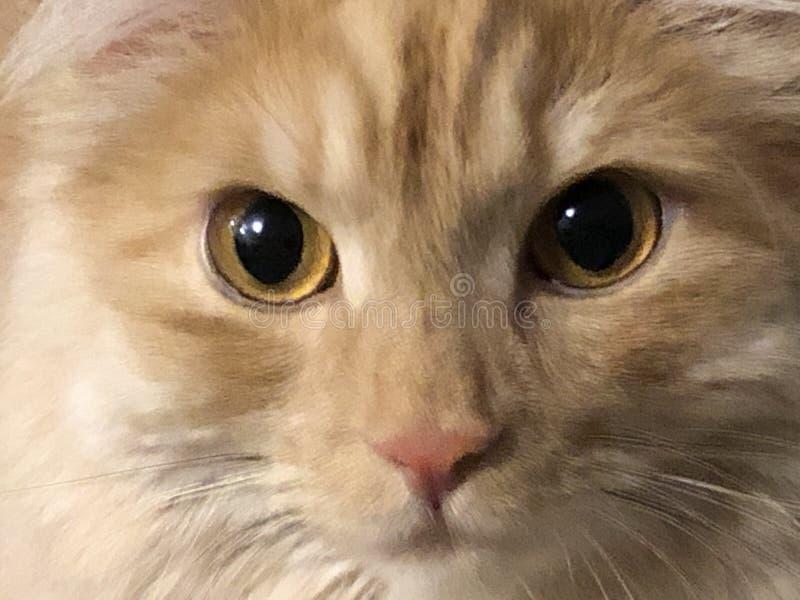 Retrato de um close-up do gato do gengibre, olhos amarelos imagem de stock