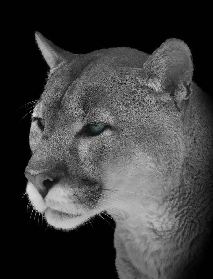 Retrato de um close-up do puma em preto e branco com olhos azuis fotografia de stock royalty free