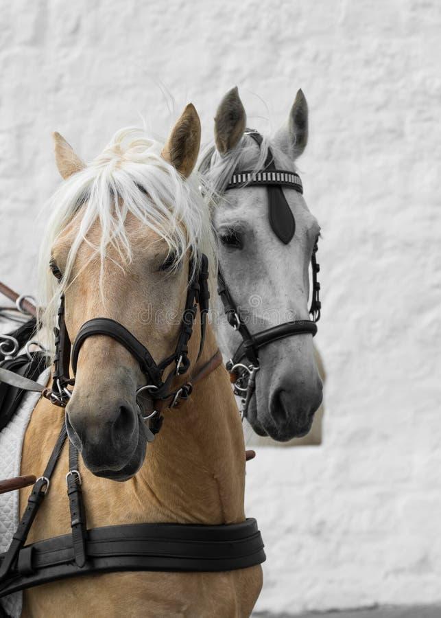 Retrato de um close-up de dois cavalos em um fundo da parede fotografia de stock