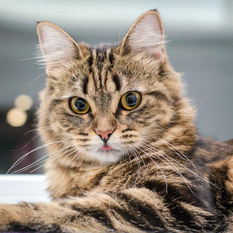 Retrato de um close up listrado cinzento bonito do gato foto de stock