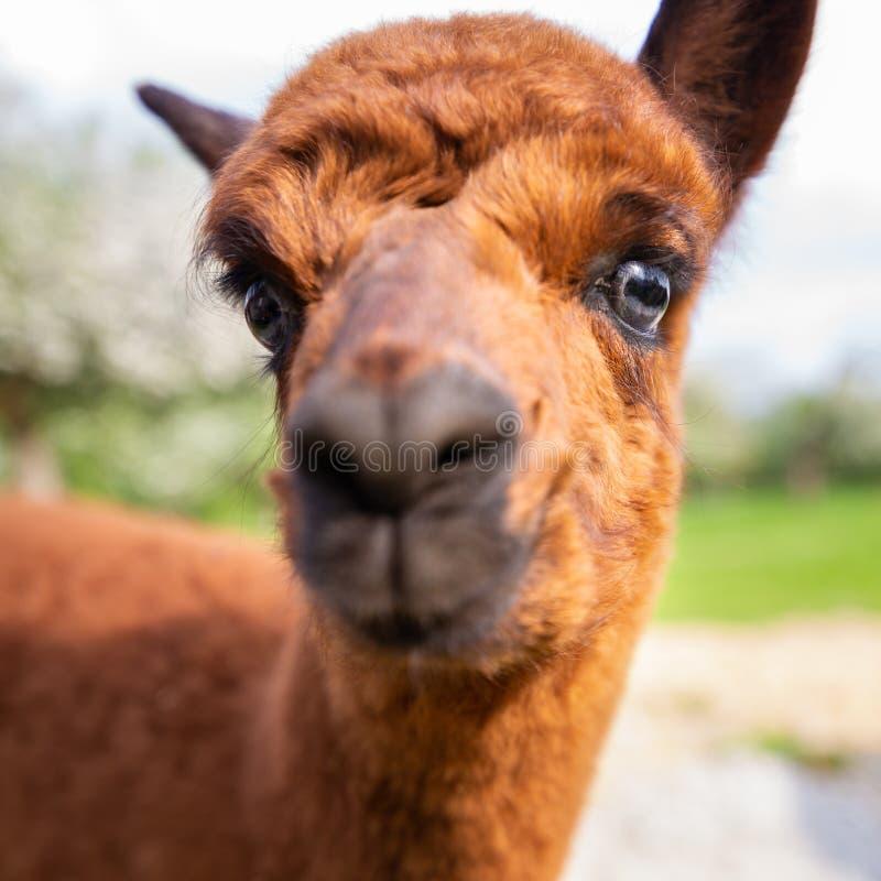 Retrato de um close-up novo da alpaca imagem de stock royalty free
