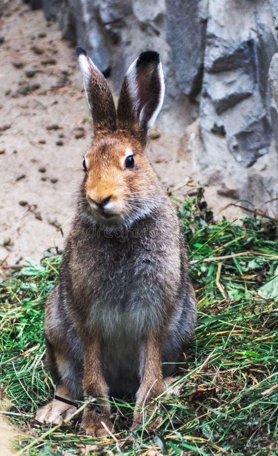 Retrato de um coelho de coelho selvagem bonito do coelho que senta-se na grama foto de stock