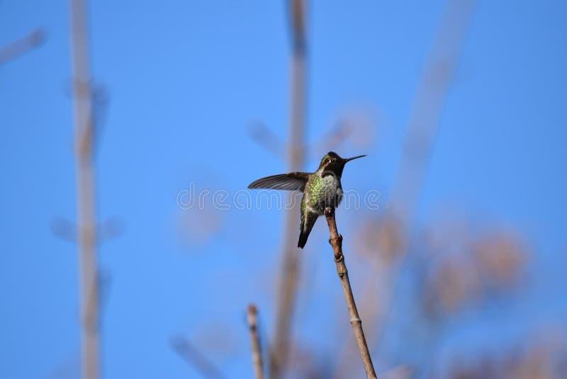 Retrato de um colibri foto de stock royalty free