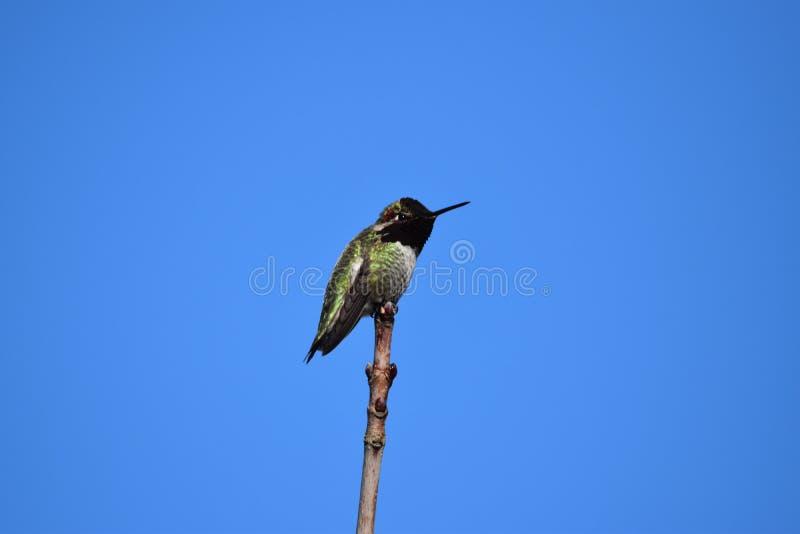 Retrato de um colibri imagens de stock royalty free