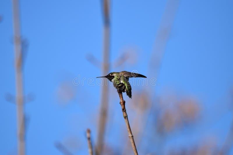 Retrato de um colibri imagem de stock