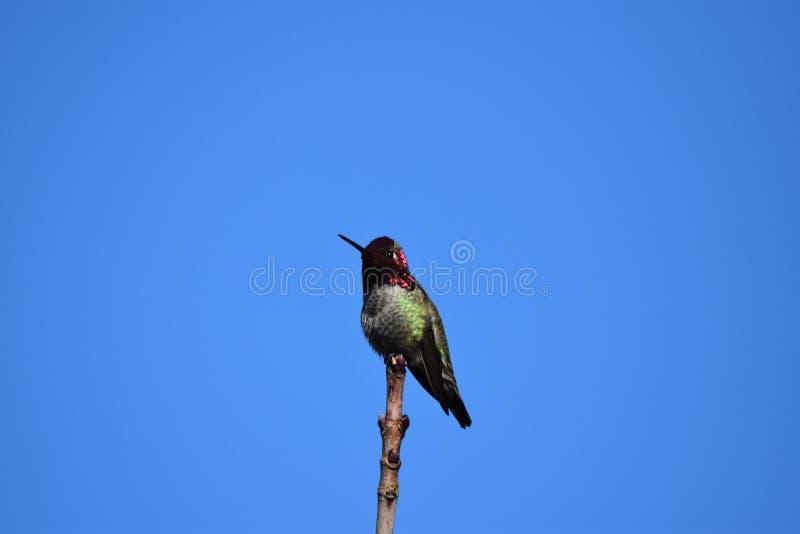 Retrato de um colibri foto de stock