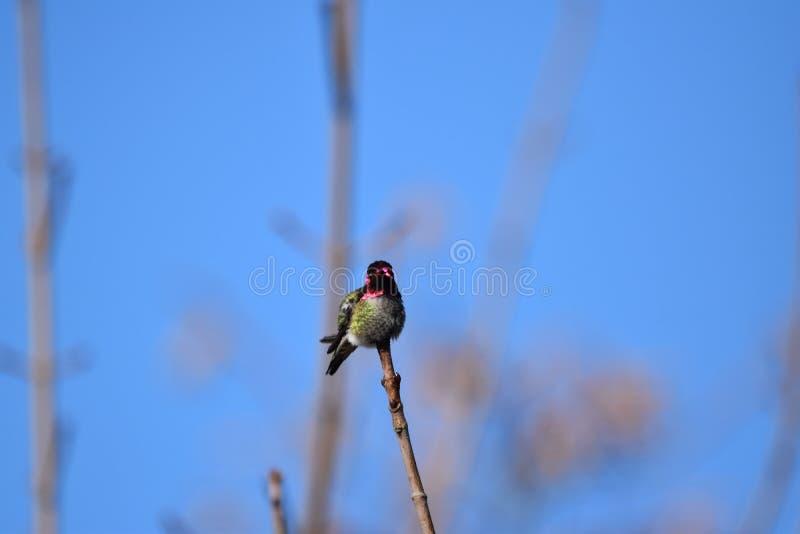 Retrato de um colibri fotografia de stock royalty free