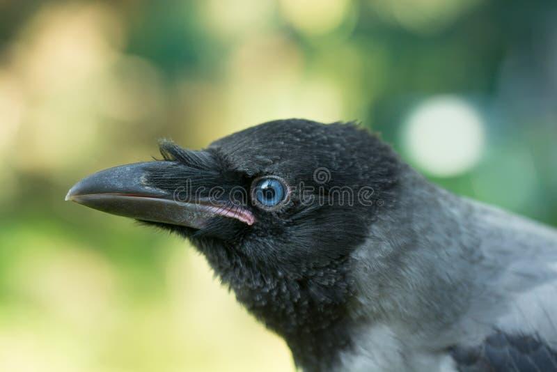 Retrato de um corvo cinzento imagem de stock