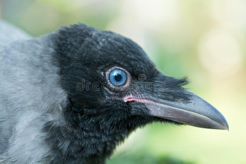 Retrato de um corvo cinzento imagens de stock