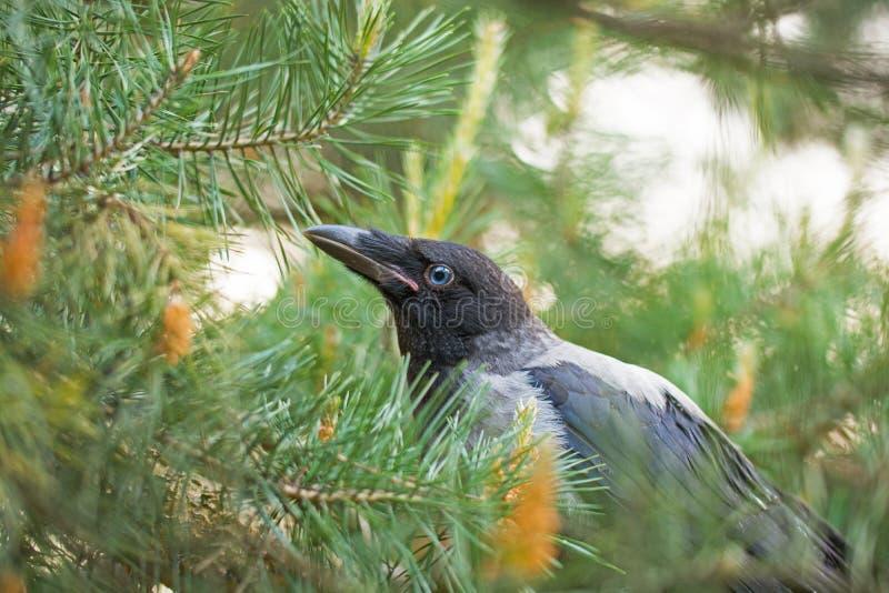 Retrato de um corvo cinzento foto de stock royalty free